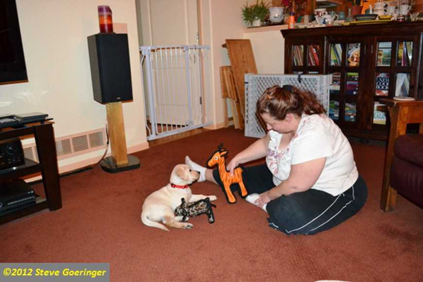 pictures of labradors,yellow labrador retriever, gun dog retriever, labrador puppy training