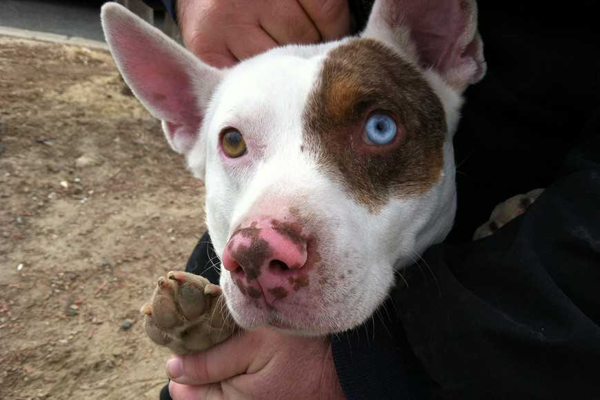 Common Reasons Why Some Pups Have Uneven Eye Colors-3